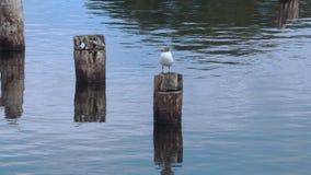 Pájaro de la gaviota en la madera en el mar almacen de metraje de vídeo