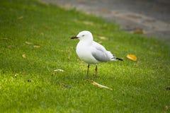Pájaro de la gaviota en Perth Foto de archivo libre de regalías