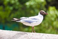 Pájaro de la gaviota, mirada pensativa Fotos de archivo