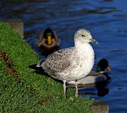 Pájaro de la gaviota que se coloca en hierba al lado del agua Foto de archivo libre de regalías