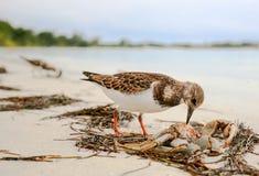 Pájaro de la lavandera que come un cangrejo en una playa del océano Fotografía de archivo libre de regalías