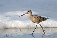 Pájaro de la lavandera que recorre en la playa con espuma del mar Foto de archivo libre de regalías