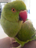 pájaro de la margarita Imagenes de archivo