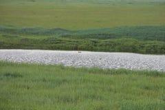 Pájaro de la negreta en la orilla del río Imagenes de archivo