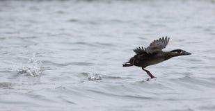 Pájaro de la negreta de la resaca que corre en el agua Imágenes de archivo libres de regalías