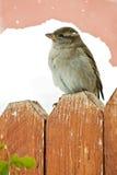 Pájaro de la nieve Fotografía de archivo libre de regalías