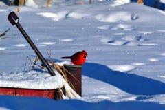 Pájaro de la nieve Foto de archivo