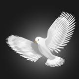 Pájaro de la paloma Fotografía de archivo