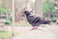 Pájaro de la paloma Foto de archivo