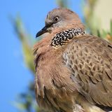Pájaro de la paloma imagen de archivo