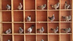 Pájaro de la paloma autodirigida que se encarama en el desván casero metrajes