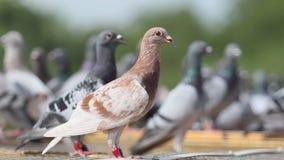 Pájaro de la paloma autodirigida que se encarama sobre el desván casero almacen de video