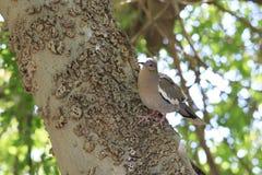 Pájaro de la paloma de la mañana que se sienta en el lado del árbol en corteza de árbol desigual en pajarera fotografía de archivo libre de regalías