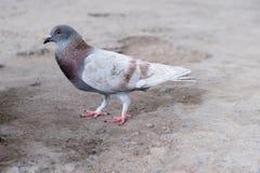 Pájaro de la paloma que se coloca en la tierra Imágenes de archivo libres de regalías