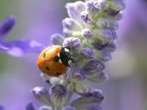Pájaro de la señora que sueña en púrpura Imagen de archivo libre de regalías