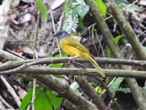 Pájaro de la selva de Jaco Costa Rica Foto de archivo libre de regalías