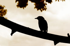 Pájaro de la silueta en rama Fotografía de archivo