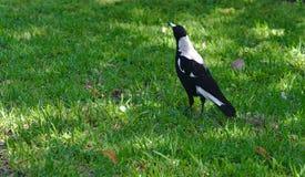 Pájaro de la urraca en hierba verde imágenes de archivo libres de regalías