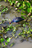 Pájaro de las aves acuáticas o de agua en el lago Thale Noi Imágenes de archivo libres de regalías