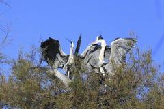 Pájaro de las cigüeñas blancas Foto de archivo libre de regalías