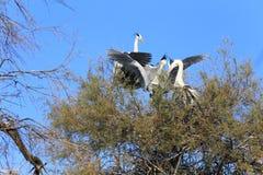 Pájaro de las cigüeñas blancas Foto de archivo
