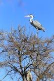 Pájaro de las cigüeñas blancas Fotografía de archivo