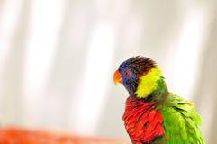 Pájaro de Lorikeet del arco iris en pajarera en la Florida Fotos de archivo