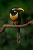 pájaro de los castanostis Castaña-espigados de Aracari, de Pteroglossus, amarillo y negro pequeño del tucán en el hábitat de la n foto de archivo