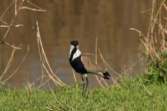 Pájaro de los efectos del Vanellus en el hula Israel del norte del lago Foto de archivo libre de regalías