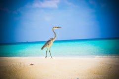Pájaro 2 de Maldivas Makana Foto de archivo