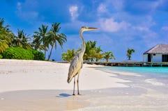 Pájaro 9 de Maldivas Makana Fotografía de archivo