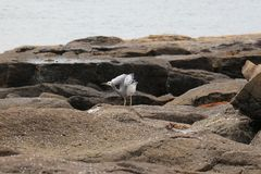 Pájaro de mar australiano Imagenes de archivo