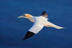 Pájaro de mar del vuelo, gannet septentrional con el material de la jerarquización en la cuenta, con la agua de mar azul marino e Fotos de archivo libres de regalías