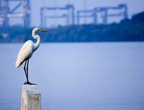 Pájaro de mar majestuoso Fotografía de archivo libre de regalías