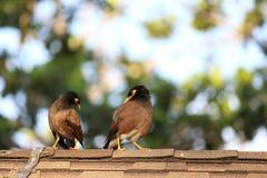 Pájaro de Myna Fotos de archivo libres de regalías