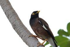Pájaro de Myna Foto de archivo