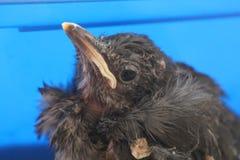 Pájaro de Myna del indio del bebé Fotos de archivo