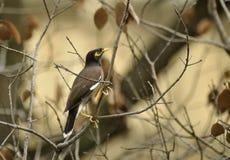 Pájaro de Mynah Fotos de archivo libres de regalías