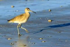 Pájaro de orilla de Willet Imágenes de archivo libres de regalías