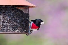Pájaro de Ose-breasted en el alimentador Imagenes de archivo
