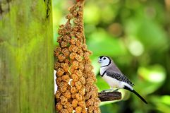 Pájaro de Owl Finch que alimenta en la pajarera, la Florida Imagenes de archivo