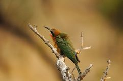 Pájaro de pecho blanco del Bee-eater Fotos de archivo