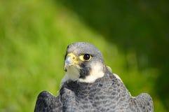 Pájaro de Peregrine Falcon del retrato de la cabeza de la presa imágenes de archivo libres de regalías