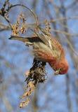 Pájaro de pino Fotografía de archivo libre de regalías