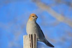Pájaro de pino Foto de archivo libre de regalías