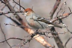 Pájaro de pino (leucura del enucleator del pinicola) Fotografía de archivo libre de regalías