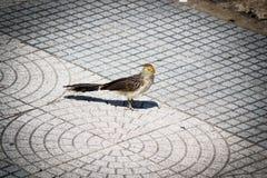 Pájaro de Pirincho en ciudad imagenes de archivo