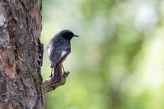 Pájaro de Redstart en una rama Ucrania foto de archivo libre de regalías