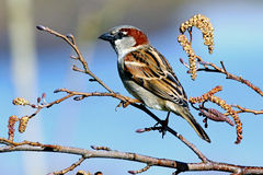 Pájaro de Reed Bunting encaramado en rama Fotografía de archivo
