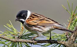 Pájaro de Reed Bunting encaramado en rama Foto de archivo